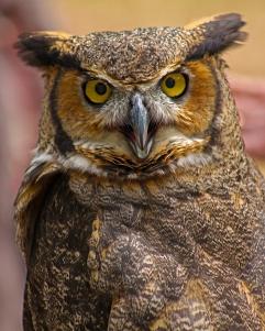 2018.03.10 Sunrise Wildlife Rehabilitation @Devil's Millhopper Great Horned Owl 'Einstein' 10