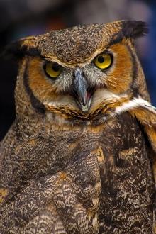 2018.03.10 Sunrise Wildlife Rehabilitation @Devil's Millhopper Great Horned Owl 'Einstein' 11