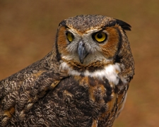 2018.03.10 Sunrise Wildlife Rehabilitation @Devil's Millhopper Great Horned Owl 'Einstein' 14