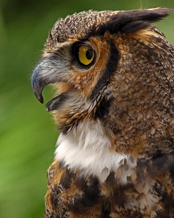 2018.03.10 Sunrise Wildlife Rehabilitation @Devil's Millhopper Great Horned Owl 'Einstein' 17