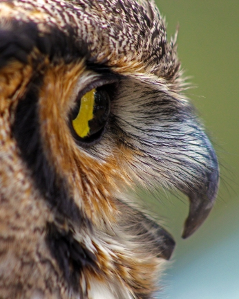 2018.03.10 Sunrise Wildlife Rehabilitation @Devil's Millhopper Great Horned Owl 'Einstein' 18