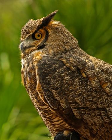 2018.03.10 Sunrise Wildlife Rehabilitation @Devil's Millhopper Great Horned Owl 'Einstein' 2