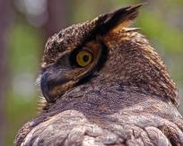 2018.03.10 Sunrise Wildlife Rehabilitation @Devil's Millhopper Great Horned Owl 'Einstein' 3