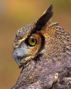 2018.03.10 Sunrise Wildlife Rehabilitation @Devil's Millhopper Great Horned Owl 'Einstein' 4