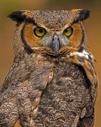 2018.03.10 Sunrise Wildlife Rehabilitation @Devil's Millhopper Great Horned Owl 'Einstein' 5