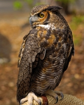 2018.03.10 Sunrise Wildlife Rehabilitation @Devil's Millhopper Great Horned Owl 'Einstein' 6