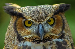2018.03.10 Sunrise Wildlife Rehabilitation @Devil's Millhopper Great Horned Owl 'Einstein' 8