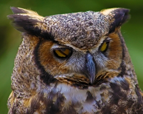 2018.03.10 Sunrise Wildlife Rehabilitation @Devil's Millhopper Great Horned Owl 'Einstein' 9