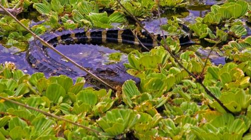 2018.03.11 La Chua Trail Alligator 1