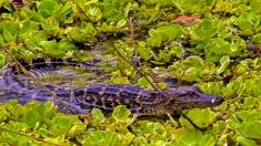 2018.03.11 La Chua Trail Alligator 2
