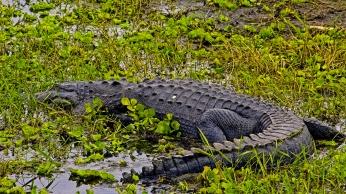 2018.03.11 La Chua Trail Alligator 3