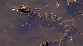 2018.04.01 Sweetwater Wetlands Alligator 1