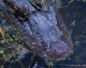 2018.04.01 Sweetwater Wetlands Alligator 2