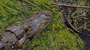 2018.04.01 Sweetwater Wetlands Alligator 3