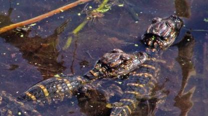 2018.04.01 Sweetwater Wetlands Alligator 4