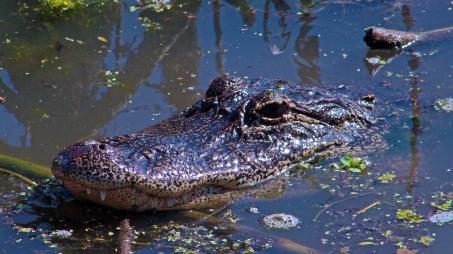 2018.04.01 Sweetwater Wetlands Alligator 5