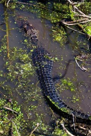 2018.04.01 Sweetwater Wetlands Alligator 6
