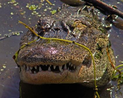2018.04.01 Sweetwater Wetlands Alligator 7