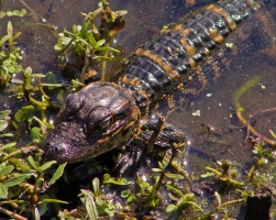 2018.04.01 Sweetwater Wetlands Alligator 8