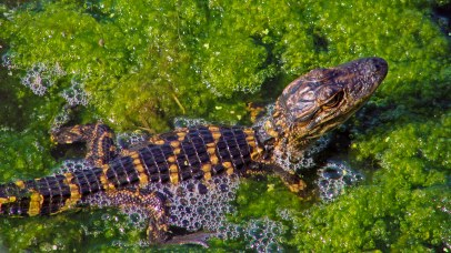 American Alligator - The Yearling