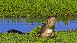 2018.06.10 La Chua Trail Alligator 1