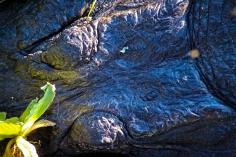 2018.10.28 La Chua Trail Alligator 1