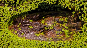 2018.11.03 Sweetwater Wetlands Alligator 1
