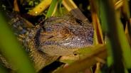 2018.11.03 Sweetwater Wetlands Alligator 3