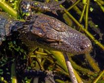 2018.11.03 Sweetwater Wetlands Alligator 4