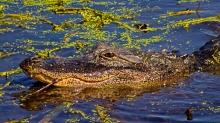 2018.11.03 Sweetwater Wetlands Alligator 5