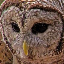 2018.12.08 Sunrise Wildlife Rehabilitation at Devil's Millhopper Barred Owl 1 cropped