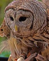 2018.12.08 Sunrise Wildlife Rehabilitation at Devil's Millhopper Barred Owl 1