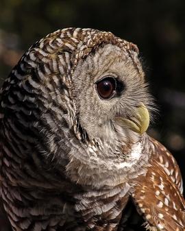2018.12.08 Sunrise Wildlife Rehabilitation at Devil's Millhopper Barred Owl 10