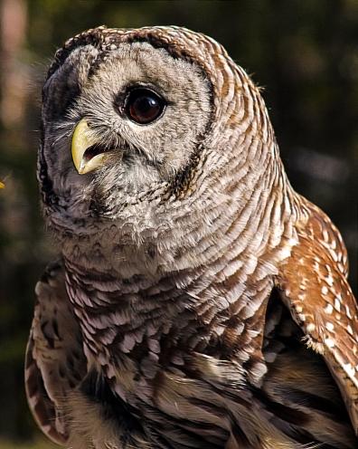 2018.12.08 Sunrise Wildlife Rehabilitation at Devil's Millhopper Barred Owl 11