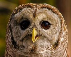 2018.12.08 Sunrise Wildlife Rehabilitation at Devil's Millhopper Barred Owl 13