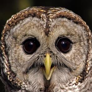 2018.12.08 Sunrise Wildlife Rehabilitation at Devil's Millhopper Barred Owl 8
