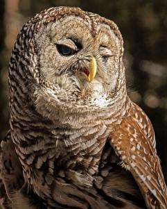 2018.12.08 Sunrise Wildlife Rehabilitation at Devil's Millhopper Barred Owl 9
