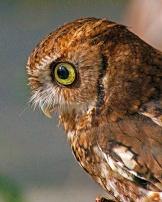 2018.12.08 Sunrise Wildlife Rehabilitation at Devil's Millhopper Eastern Screech Owl 2