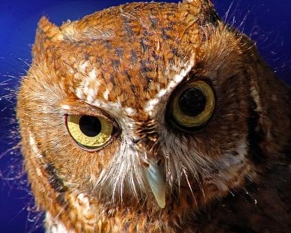 2018.12.08 Sunrise Wildlife Rehabilitation at Devil's Millhopper Eastern Screech Owl 3