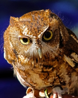 2018.12.08 Sunrise Wildlife Rehabilitation at Devil's Millhopper Eastern Screech Owl 4