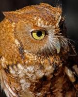 2018.12.08 Sunrise Wildlife Rehabilitation at Devil's Millhopper Eastern Screech Owl 5