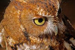 2018.12.08 Sunrise Wildlife Rehabilitation at Devil's Millhopper Eastern Screech Owl 6