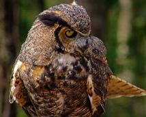 2018.12.08 Sunrise Wildlife Rehabilitation at Devil's Millhopper Great Horned Owl 1