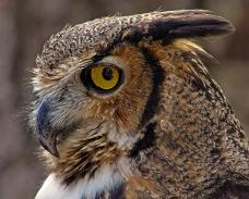 2018.12.08 Sunrise Wildlife Rehabilitation at Devil's Millhopper Great Horned Owl 2