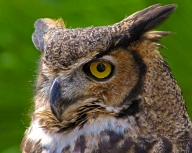 2018.12.08 Sunrise Wildlife Rehabilitation at Devil's Millhopper Great Horned Owl 3