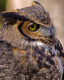 2018.12.08 Sunrise Wildlife Rehabilitation at Devil's Millhopper Great Horned Owl 5