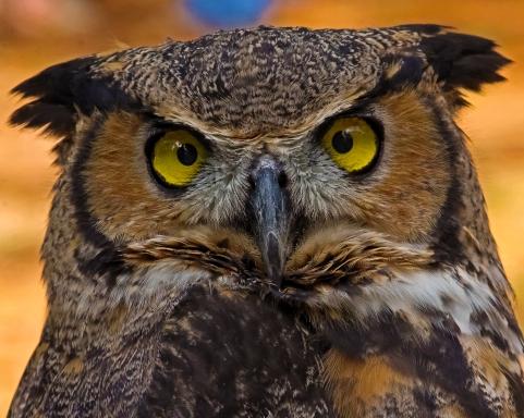 2018.12.08 Sunrise Wildlife Rehabilitation at Devil's Millhopper Great Horned Owl 9