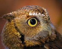 2019.03.09 Sunrise Wildlife at WBU Eastern Screech Owl Ruby 10