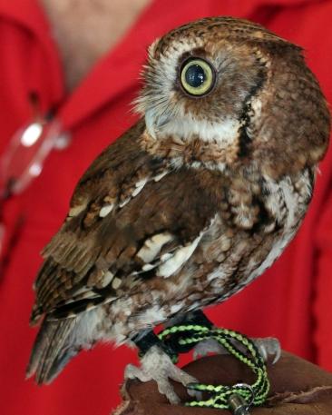 2019.03.09 Sunrise Wildlife at WBU Eastern Screech Owl Ruby 3