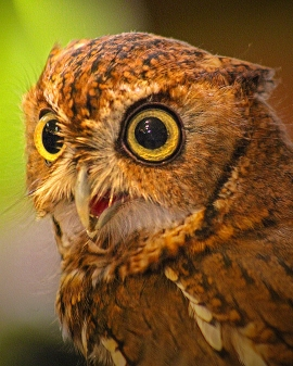2019.03.09 Sunrise Wildlife at WBU Eastern Screech Owl Ruby 6